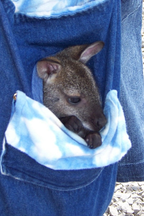 wallabycoheninbag