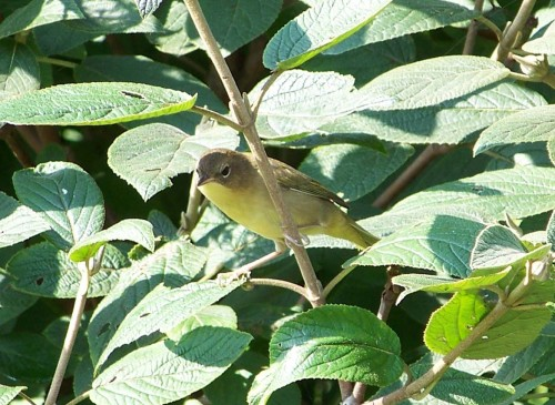 yellowthroat1