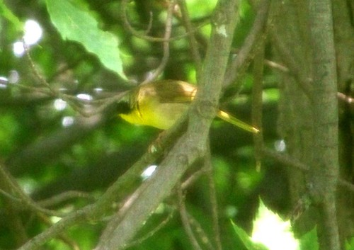 yellowthroatadult3