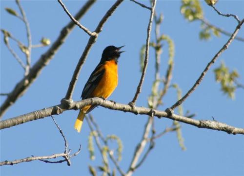 The Baltimore Oriole (Icterus galbula) is a migratory bird seen around Willow House in the summer that is often found on shade-grown coffee plantations in the winter.