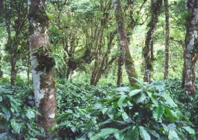 Coffee growing under rainforest canopy