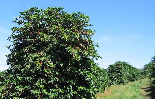 Sun-grown coffee plantation (Photo credit: wikipedia)